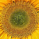 Sunflower Sunshine. by Lee d'Entremont