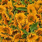 Sunflower Heaven. by Lee d'Entremont