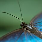 Blue Butterfly by VWSWAG