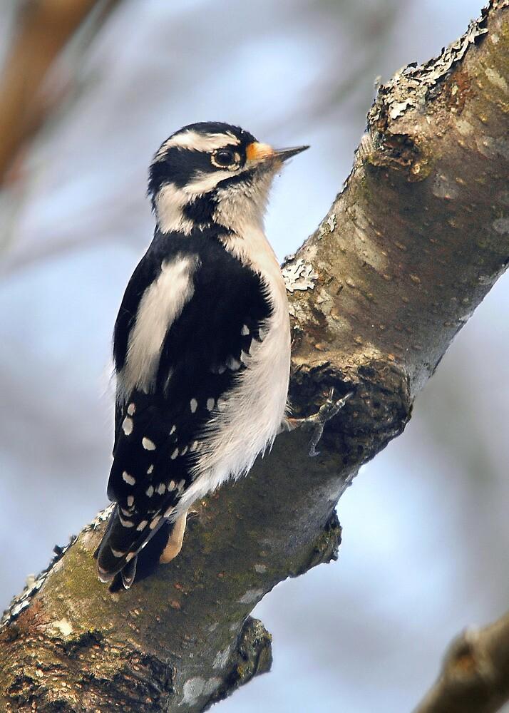 Downy Woodpecker by Carl Olsen