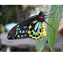 Colorful Butterfly on Leaf  Photographic Print