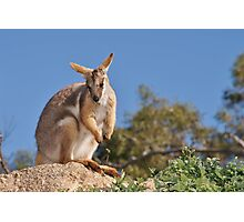 Yellow-footed Rock-wallaby Photographic Print