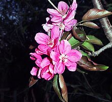 Cerise blossom adorns my Ballarina Waltz Apple Tree KILMORE vIC  by Margaret Morgan (Watkins)