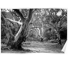 River Red Gums. Poster
