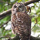 Barred Owl by Carl Olsen