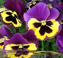 Pansie Reflection by Barbny