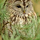 Tawny Owl II by Jacqueline van Zetten