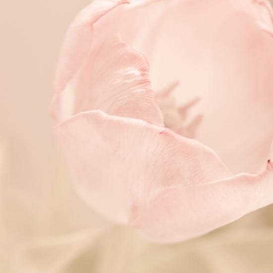tulip. by Carina Potts