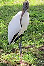 Wood Stork, Full Body  by AuntDot