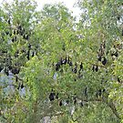 Black Flying fox colony, Ord River, Kimberley, Western Australia by Margaret  Hyde