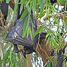 Black Flying Fox, Ord River, Western Australia by Margaret  Hyde