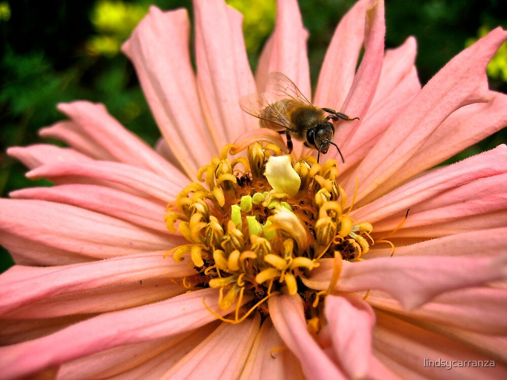 Bee and a Flower by lindsycarranza