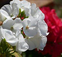 Geraniums by PhotosByG