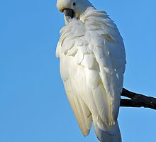 Sulphur Crested Cockatoo. Cedar Creek, Queensland, Australia.  by Ralph de Zilva