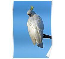 Sulphur Crested Cockatoo. Cedar Creek, Queensland, Australia.  Poster