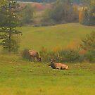 Tuckered Out Bull Elk by teresa731