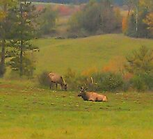 Tuckered Out Bull Elk by teresa731