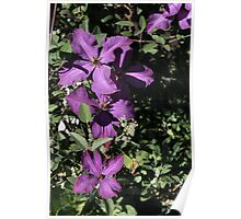 Cascading Clematis Poster