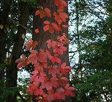 Virginia creeper by Penny Rinker