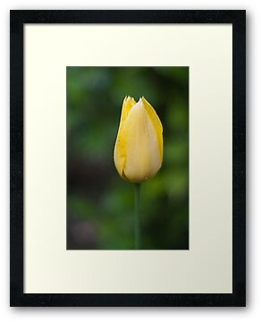 Yellow Tulip by DavidsArt