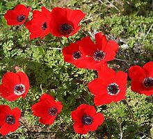 Red Wild Anemone Flowers  by taiche