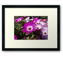 Pink And White Gazania Flowers Framed Print