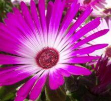 Pink And White Gazania Flowers Sticker