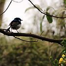 Fairy Wren (Malurus cyaneus) - Blue by Michael Humphrys