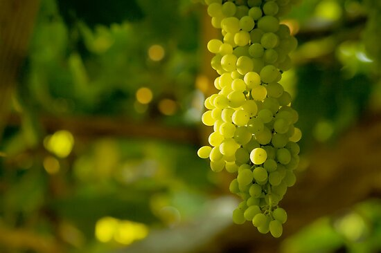 A Bunch Of White Grapes by Kuzeytac