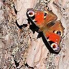 A sunbathing peacock butterfly by Paulo van Breugel