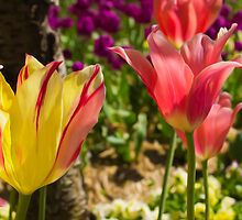 Fiery Tulips by Peter Gray