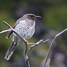 Port Elliot Bird by Stuart Daddow Photography
