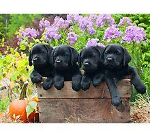 A box of 4 Labrador puppies! Photographic Print