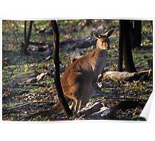 Mt. Lofty Kangaroos Pt.4 Poster
