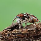 6mm jumping spider by fishnrobo