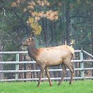 Backyard Elk by lincolngraham