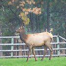 Backyard Elk by lincolngraham