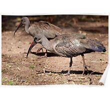 Hadeda Ibis, Kruger National Park, South Africa Poster