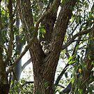 Koala by Kitsmumma