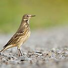 Roadside American Pipit. by Daniel Cadieux