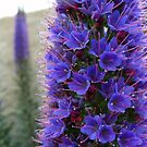 Echium dreams by LouJay