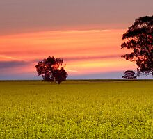 Canola Field Sunset by Travis Easton