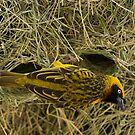 Speke's Weaver (Ploceus spekei) by Neville Jones