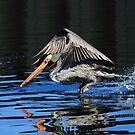 Pelican Water Take Off by DARRIN ALDRIDGE