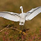 Snowy Egret spreading its wings by Bryan  Keil
