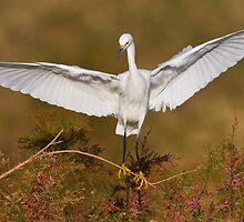 Snowy Egret spreading its wings by Bryan  Keil