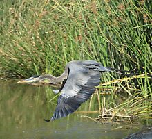 Blue Heron Takes Flight by DARRIN ALDRIDGE
