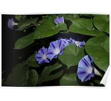 Morning Glories in the Garden Poster