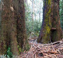 Rain forest Dandenongs by Trevor Corran