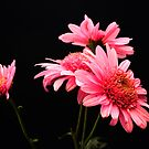 Chrysanthemums by rosie320d